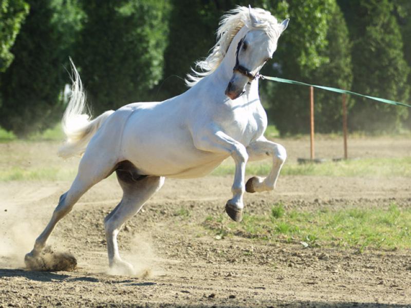 Ključne riječi ergela , konji , lipicanci , dresura